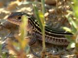 Texas Spotted Whiptail (Cnemidophorus g. gularis)