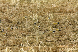 Will all the American Golden-Plovers...