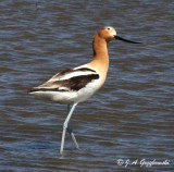 American Avocet keeping an eye out.