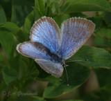 Reakirt's Blue (Hemiargus isola)