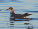 Franklin's Gull--juvenile