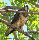 Swaison's Hawk