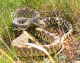 Bullsnake (normal)