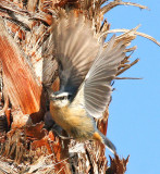 Red-breasted Nuthatch in a palm tree