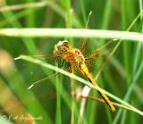 Saffron-winged Meadowhawk (Sympetrum costiferum)
