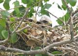 Swainson's Hawk in nest