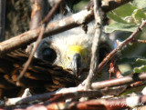 young Swainson's Hawk in nest