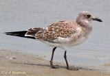 Laughing Gull--juvenile