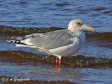 Thayer's Gull - adult winter