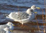 Thayer's Gull/Herring Gull comparison