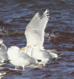 Herring Gulls and Thayer's/Kumlien's swarm Gull
