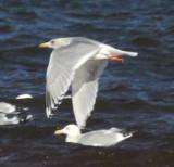Thayer's/Kumlien's swarm and Herring gulls
