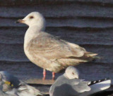 Thayer's Gull--second cycle