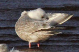 Thayer's Gull--2nd cycle