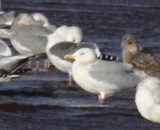 UK darker-mantled gull
