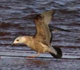 assumed darker Herring Gull