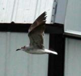 subadult Laughing Gull