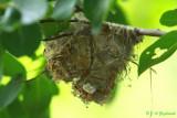 Bell's Vireo nest