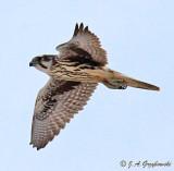 Prairie Falcon--hatch-year male