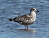 juvenile Lesser Black-backed Gull