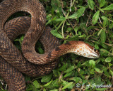 Western Coachwhip playing dead