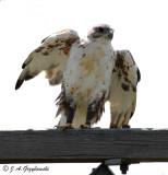 Ferruginous Hawk--adult molting