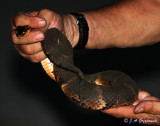 Broad-banded Water Snake