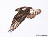 Ferruginous Hawk immature