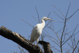 Cattle Egret (Bubulcus ibis) Barcelona Zoo, Wild breeding colony
