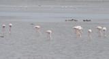 Greater Flamingoes (Phoenicopterus roseus) Delta de l'Ebre - Catalunya