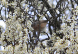 Western Subalpine Warbler ssp iberiae (Sylvia inornata iberiae) Baga - Pyrenees