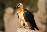 Accipitriformes: Accipitridae - Hawks, Kites, Eagles