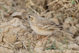 Wagtails - Pipits (19)