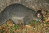 4169-common-brushtail-possum.jpg