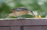 Riflebirds