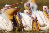 _white_pelican 48D1191CCpb.jpg