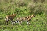 _48D0270pb SERVAL NDUTU TANZANIA
