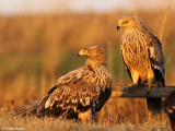 Imperial_eagle