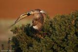 long-legged_buzzard_