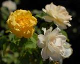 roses_yellow_white.jpg