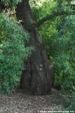 Narrow-leaved Bottle Tree