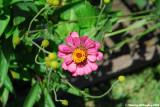 little rose colored flower.jpg