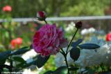 red_white rose.jpg