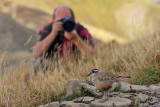 Dotterel and photographer...