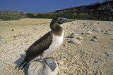 Young Nazca Booby