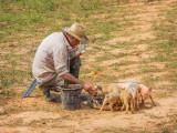 P3280845a-Feeding-the-pigs.jpg
