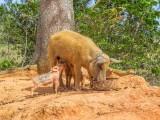 P3280908a-Piggy.jpg