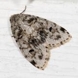 Hodges#8098 * Little White Lichen Moth * Clemensia albata
