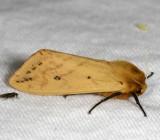 Hodges#8129 * Isabella Tiger Moth * Pyrrharctia isabella