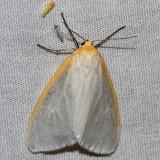Hodges#8230 * Delicate Cycnia * Cycnia tenera